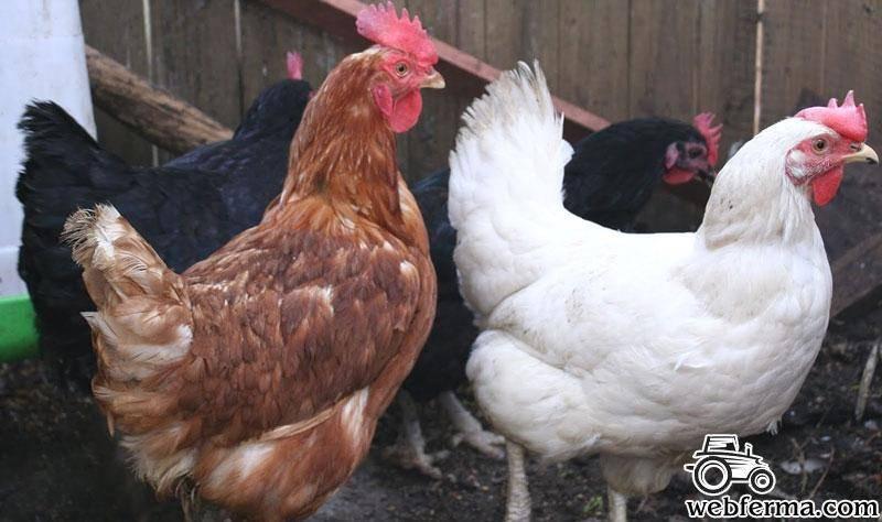 Шейвер браун: порода кур, описание
