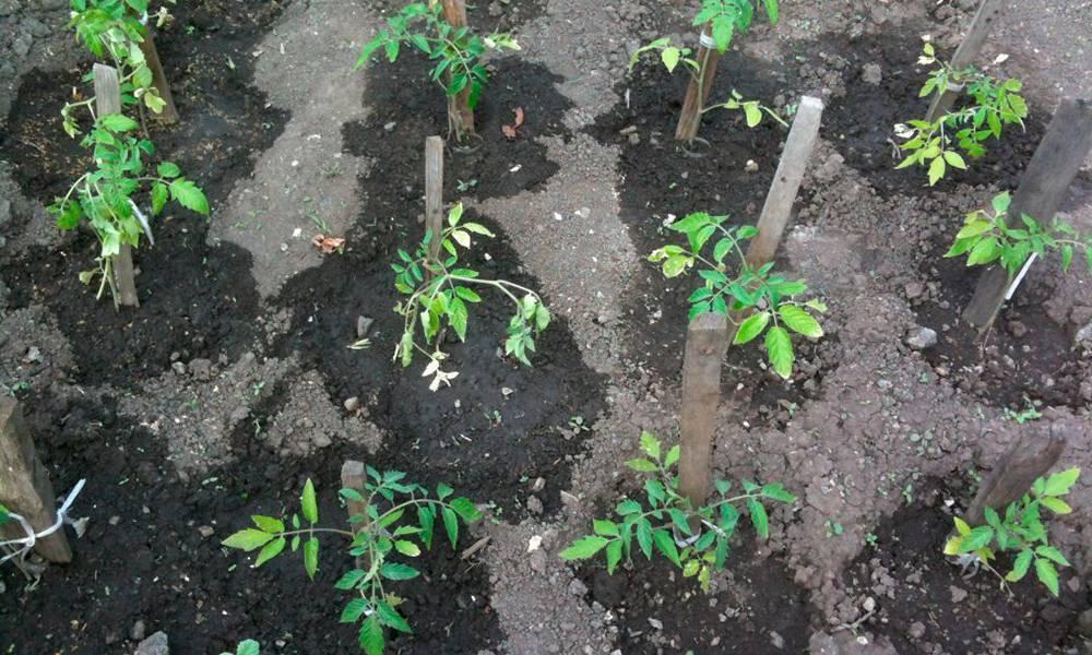 Правила подкормки рассады помидор после высадки в открытый или закрытый грунт