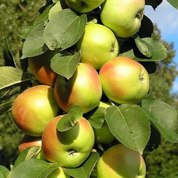 Яблоня антоновка: особенности сорта и ухода