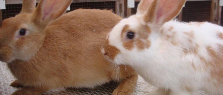 Декоративный кролик — уход и содержание в домашних условиях