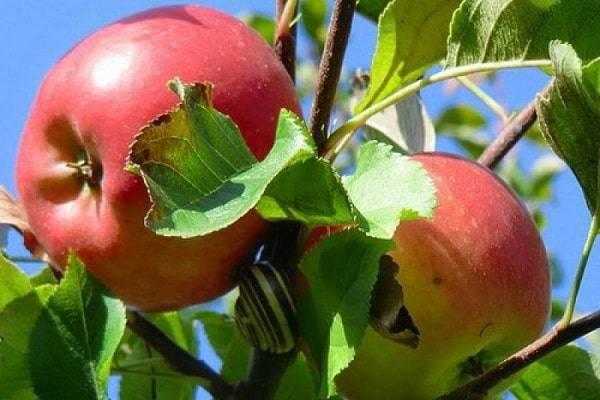 Яблоня «симиренко»: описание сорта, фото и отзывы