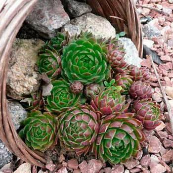 Виды и сорта цветка молодило, описание и особенности размножения