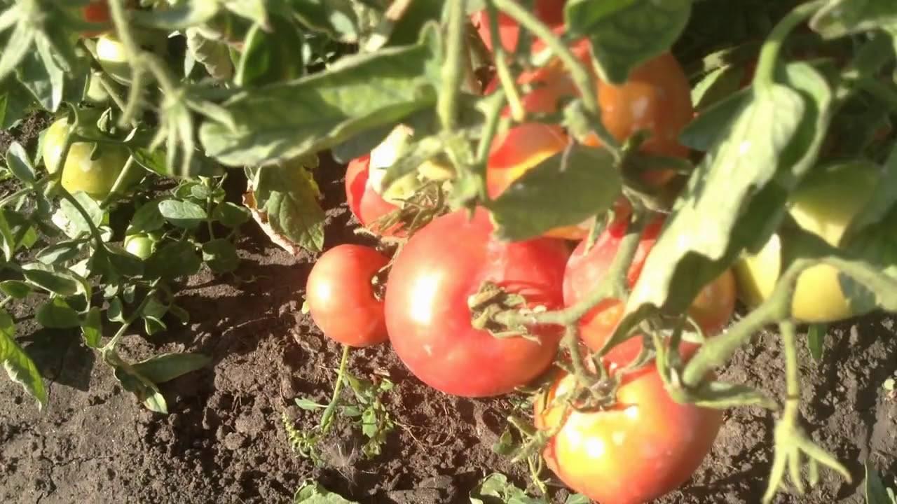 Томат демидов: 7 особенностей и 12 советов по выращиванию и уходу