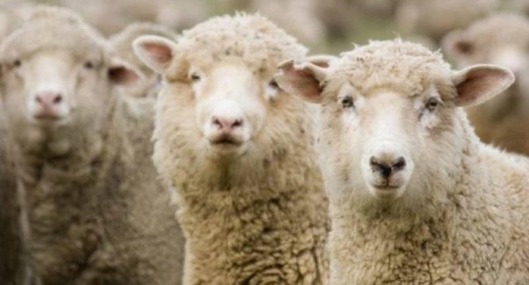 Описание мясных пород овец в россии
