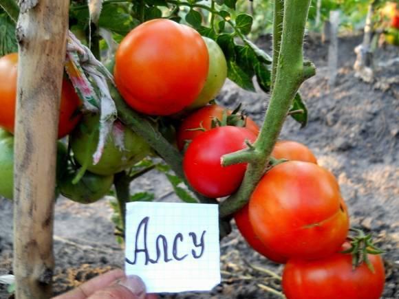 Характеристика и описание сорта томата супермодель