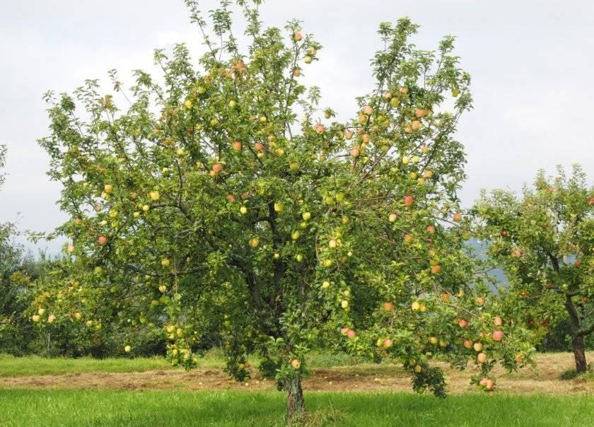Настоящая жемчужина сада — яблоня сорта кальвиль снежный