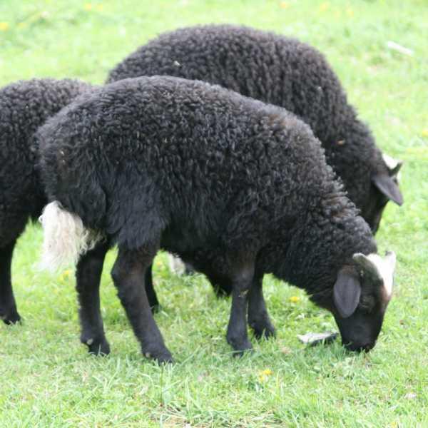 Разведение баранов на мясо как бизнес — составляем бизнес-план