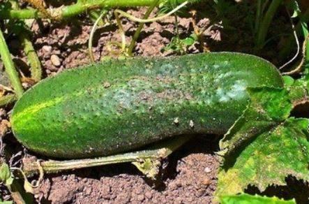 Огурец «дальневосточный 27» — описание характеристик сорта. посадка, уход, урожайность и выращивание из семян (фото)