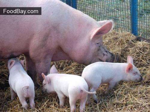 Корейские свиньи: характеристики и содержание породы