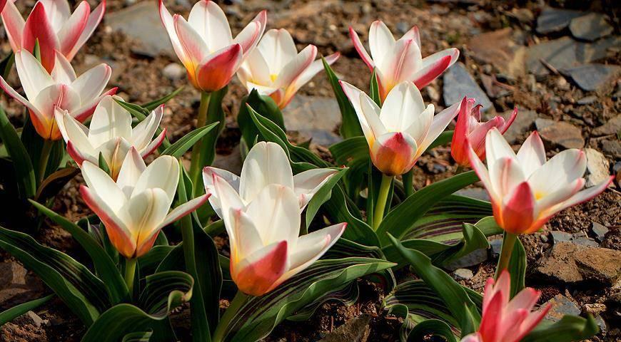 Тюльпаны: как выглядят и как вырастить