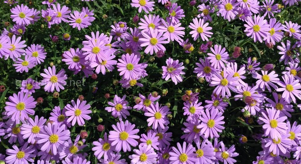 Брахикома, нежные и элегантные цветы в саду,выращивание из семян