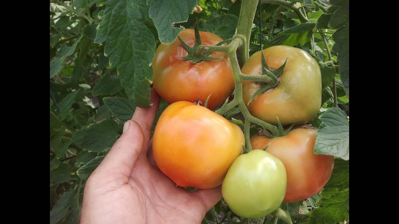Томат купец — описание сорта, урожайность, фото и отзывы садоводов
