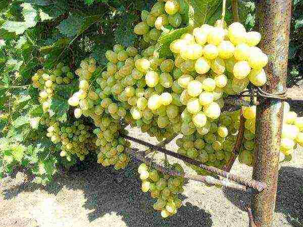 Сорт винограда ланселот – особенности разведения для новичков