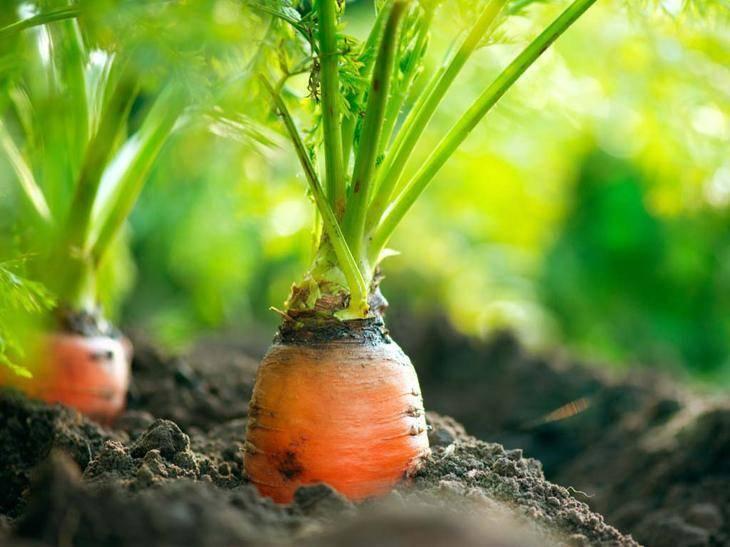 Керосин против сорняков. как обработать морковь керосином от сорняков