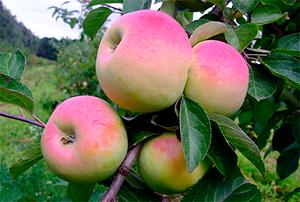 Описание яблони веньяминовское