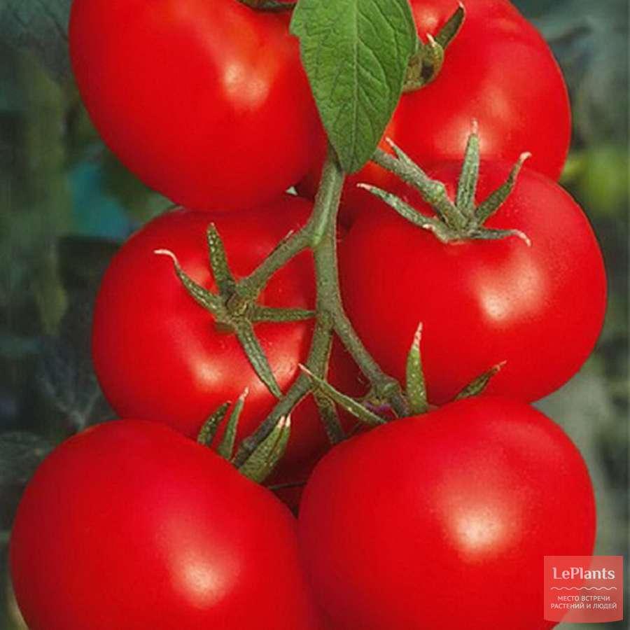Выращивание и уход за морозостойким гибридом томата оля