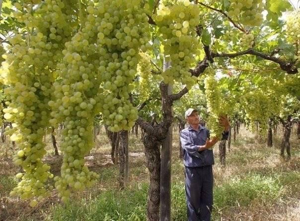 Кристалл: всё о выращивании популярного сорта винограда