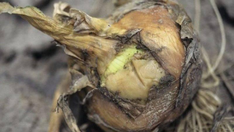 Самые опасные вредители лука: описание, меры профилактики и борьбы
