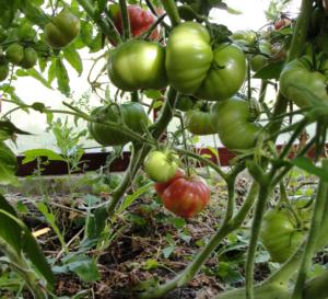 Лучшие сорта гигантских томатов [описание, особенности, фото и видео]