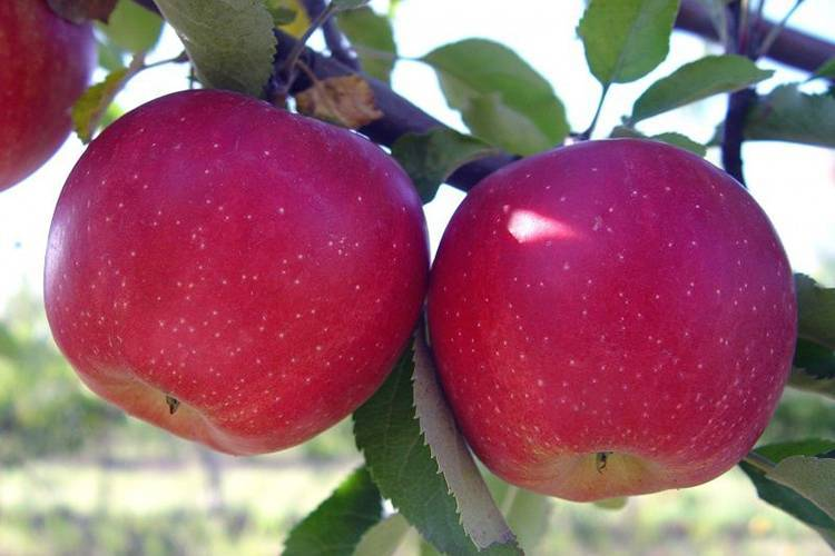 Описание и характеристики сорта яблонь Слава победителям, выращивание и уход