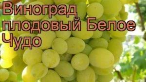 Описание и характеристики сорта винограда левокумский, происхождение и особенности выращивания