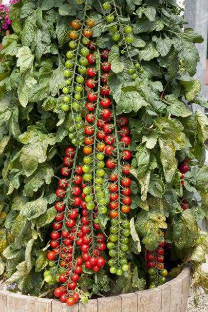 Подробное описание сорта томатов рапунцель
