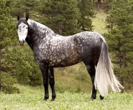 Описание чистокровных арабских лошадей и правила ухода за ними