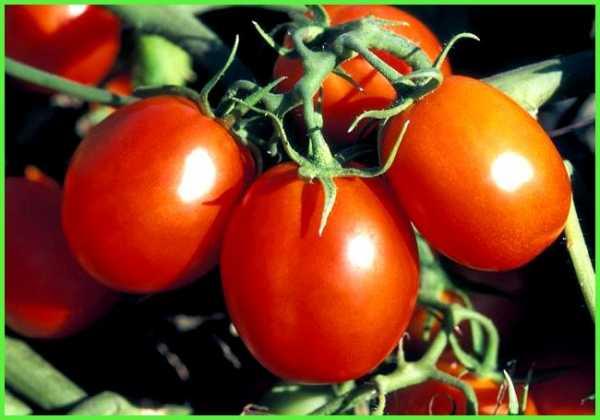 Томат санрайз: характеристика и описание сорта, урожайность с фото