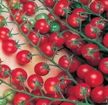 Выращивание ампельных томатов: особенности, правила, известные сорта