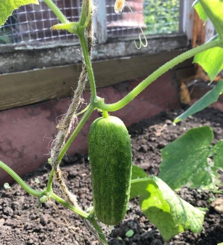Благотворное влияние нашатырного спирта на огородные культуры