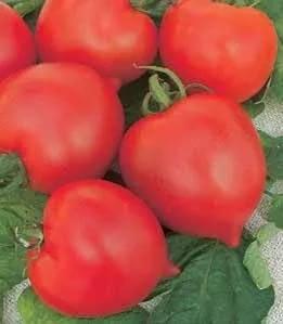 Элементарный в уходе отечественный томат премиум f1: описание сорта и особенности его выращивания