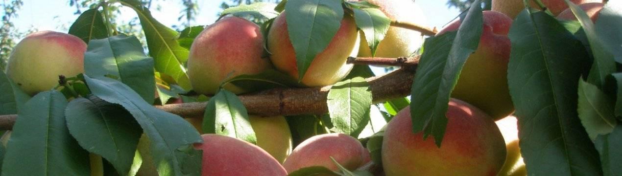 Описание и характеристики персика сорта Посол мира, посадка и уход