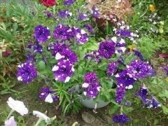 Что такое вегетативная петуния и как она размножается? фото сортов растения и советы по посадке и уходу