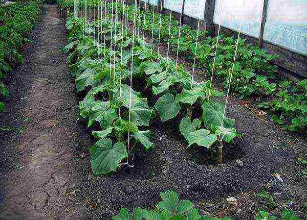 Как вырастить огурцы без подвязки в открытом грунте?