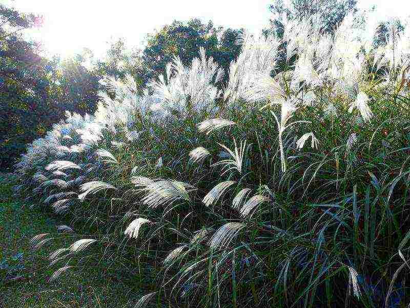 Применение мискантуса в дизайне ландшафта. особенности размножения, посадки и ухода