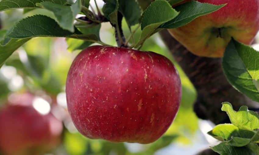 Яблоня слава победителям – 8 особенностей и 10 советов по посадке и уходу