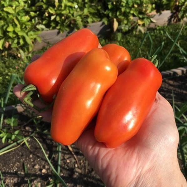Фото, видео, отзывы, описание, характеристика и урожайность сорта помидора «жигало»
