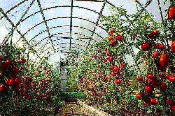 Выращиваем помидоры в теплице из поликарбоната: посадка и уход