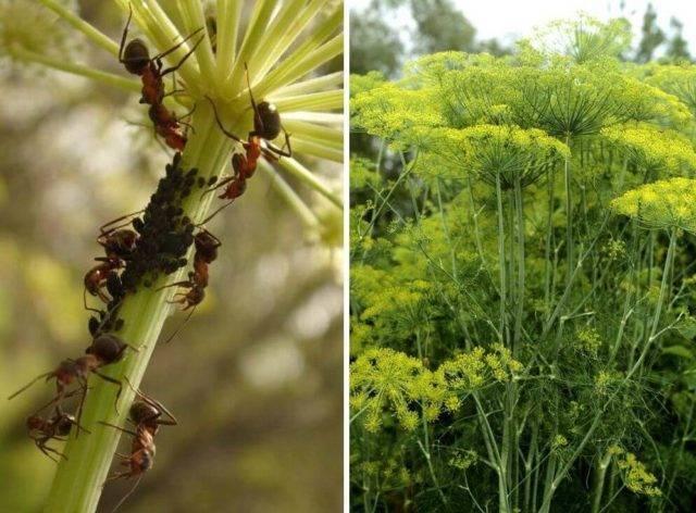 Избавление от вредителя — тля на щавеле. чем можно обработать растение и как бороться?