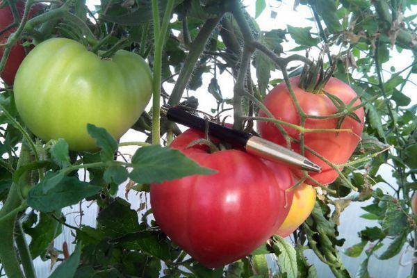 Томат азов: характеристика и описание сорта, выращивание и уход с фото