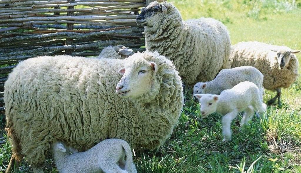 Прекос порода овец