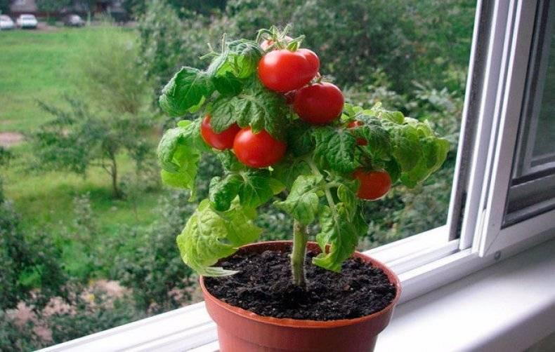 """Как можно качественно вырастить помидоры сорта """"пиноккио"""""""