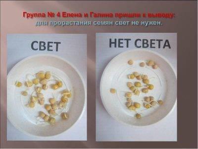 Особенности замачивания семян огурцов перед посадкой — когда начинать, как и в чем замачивать, как сажать