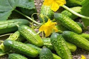 Особенности сорта огурцов «атлантис f1» и рекомендации по выращиванию