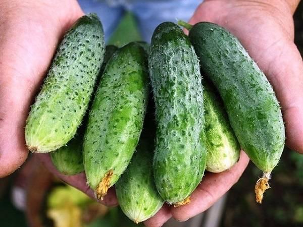 Особенности применения и тонкости обработки огурцов зеленкой и йодом