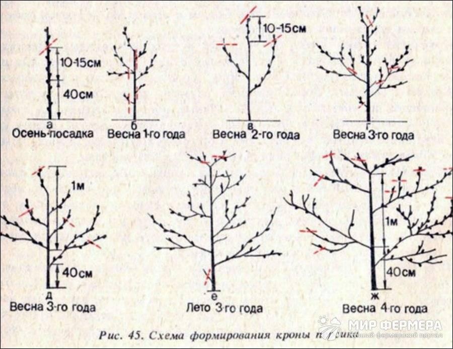 Правильная схема обрезки персика весной, летом и осенью