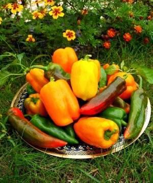 Сладкий перец клаудио f1: отзывы, фото, особенности гибрида