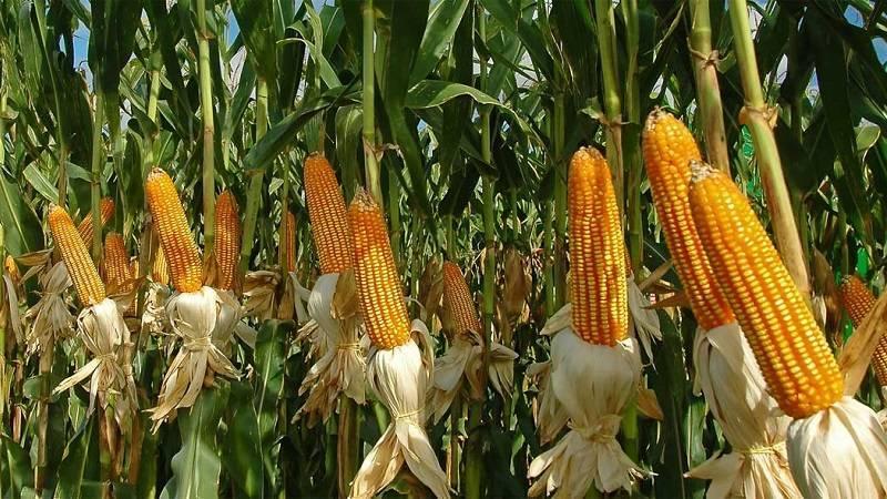 Как отличить молодую кукурузу от старой фотографии