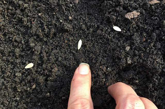 Выращивание рассады огурцов из семян в 2020 году