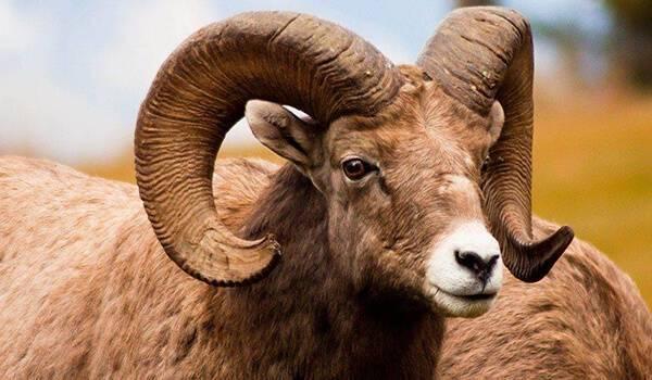 Описание и разновидности диких баранов с закрученными рогами, где живут